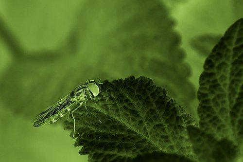 Mint leaf closeup